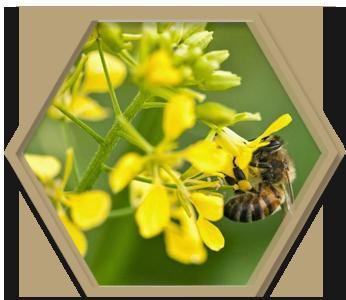 рапичен мед